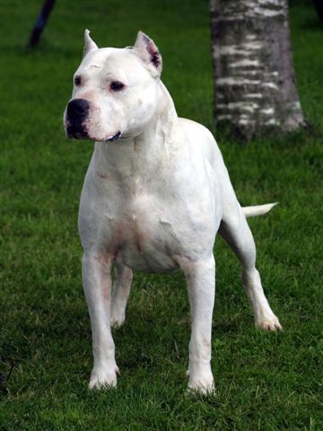 Dogo Argentino Names Of Dogo Argentino Dog Breeds Index With