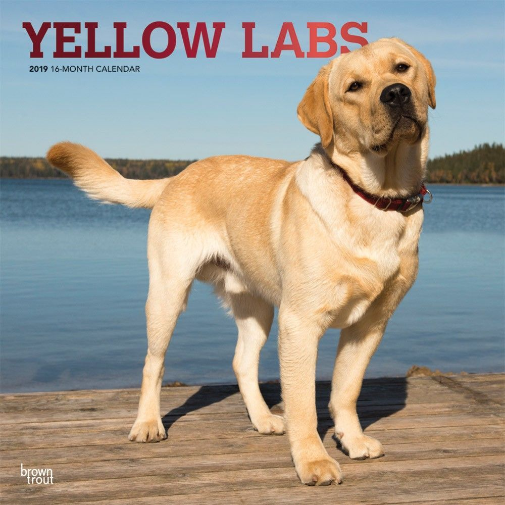 Yellow Labrador Retrievers 2019 12 X 12 Inch Monthly Square Wall