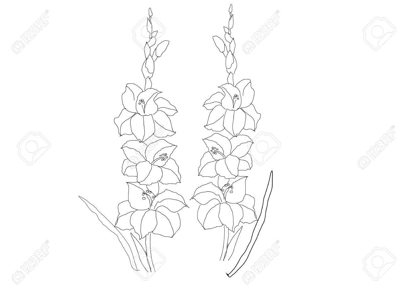 Gladiolus Flower Drawing Gladiolus Flowers Line Drawing Vector Illustration Royalty Free Flower Drawing Flower Line Drawings Gladiolus Flower