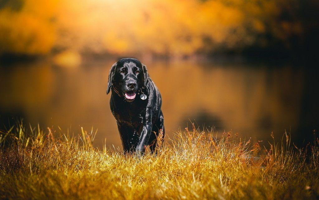 labrador, black dog, pet, walk, grass wallpaper   animals