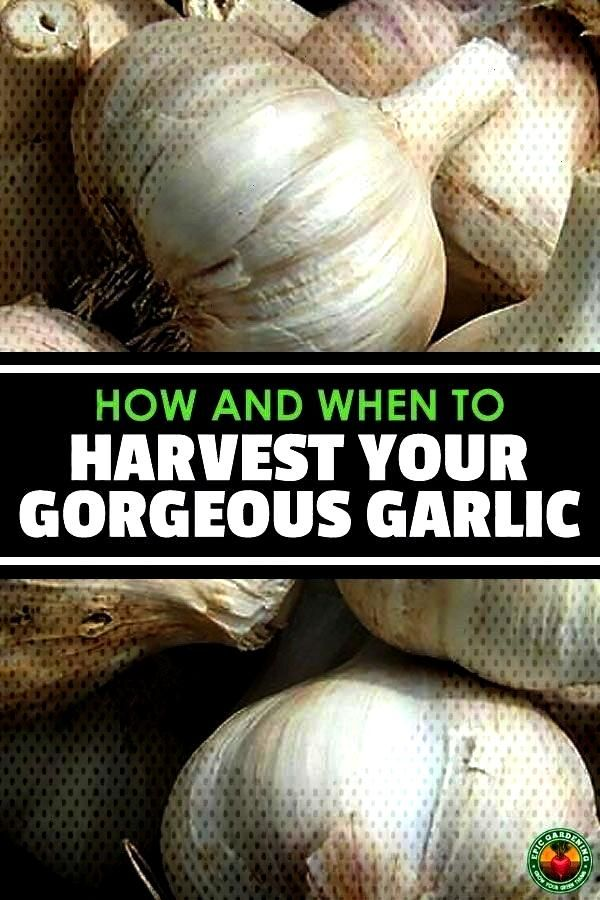 When to Harvest Garlic If you have a love affair with garlic like me, learn how and when to harvest