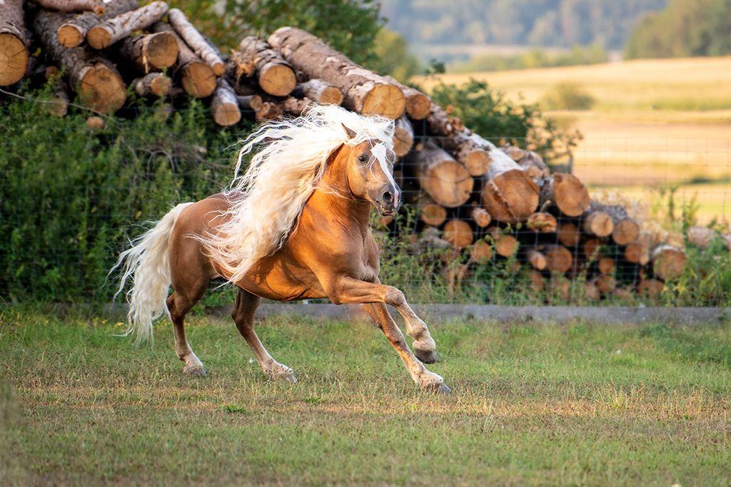 Warum Der Haflinger Mehr Als Nur Ein Stures Dickes Pony Ist Pferde Rassen Pferderassen Pferde