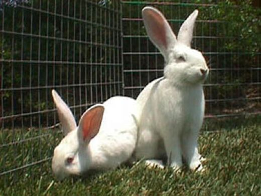 Bunny Breed Guide New Zealand White Rabbit New Zealand