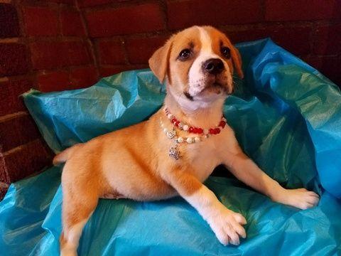 Boxador Puppy For Sale In Spring Tx Adn 35892 On Puppyfinder Com