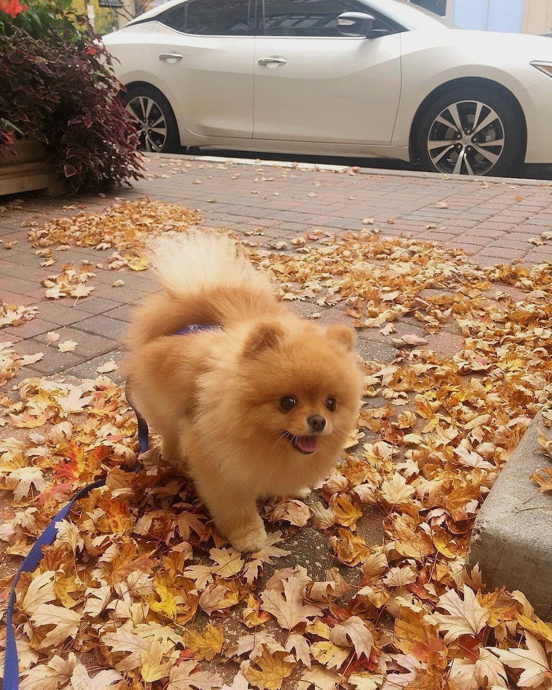 Adorable Pomeranian White Teacup Husky Haircuts - Year of