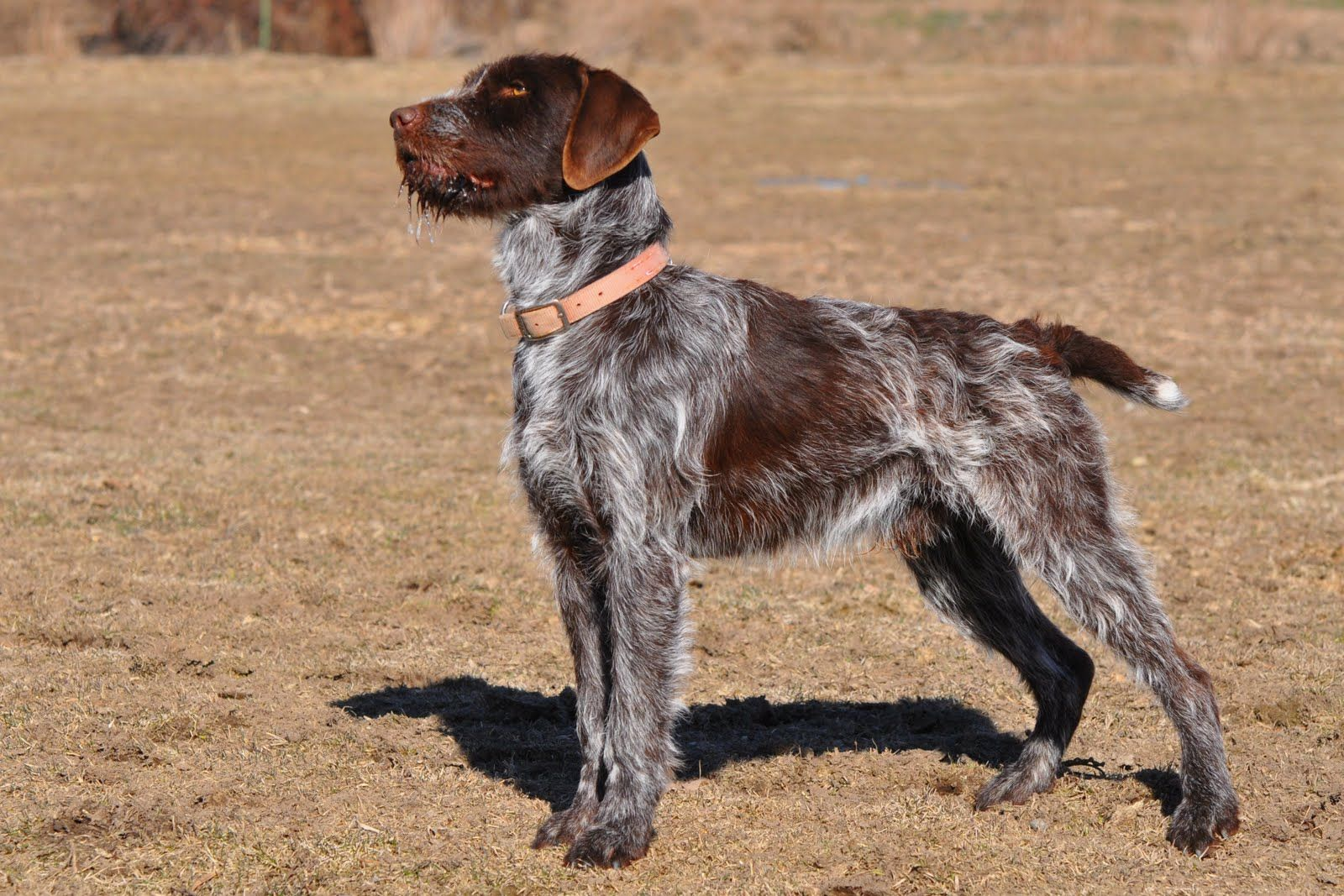 Wirehaired Pointing Griffon Duck Hunting Images & Pictures
