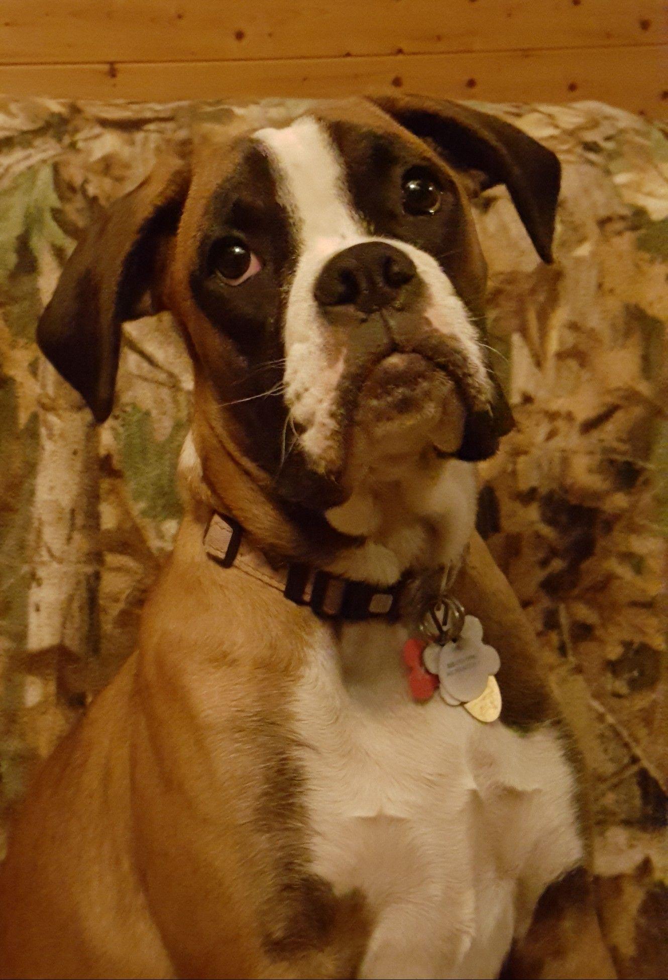 Boxer dogs boxer bulldog boxer dog