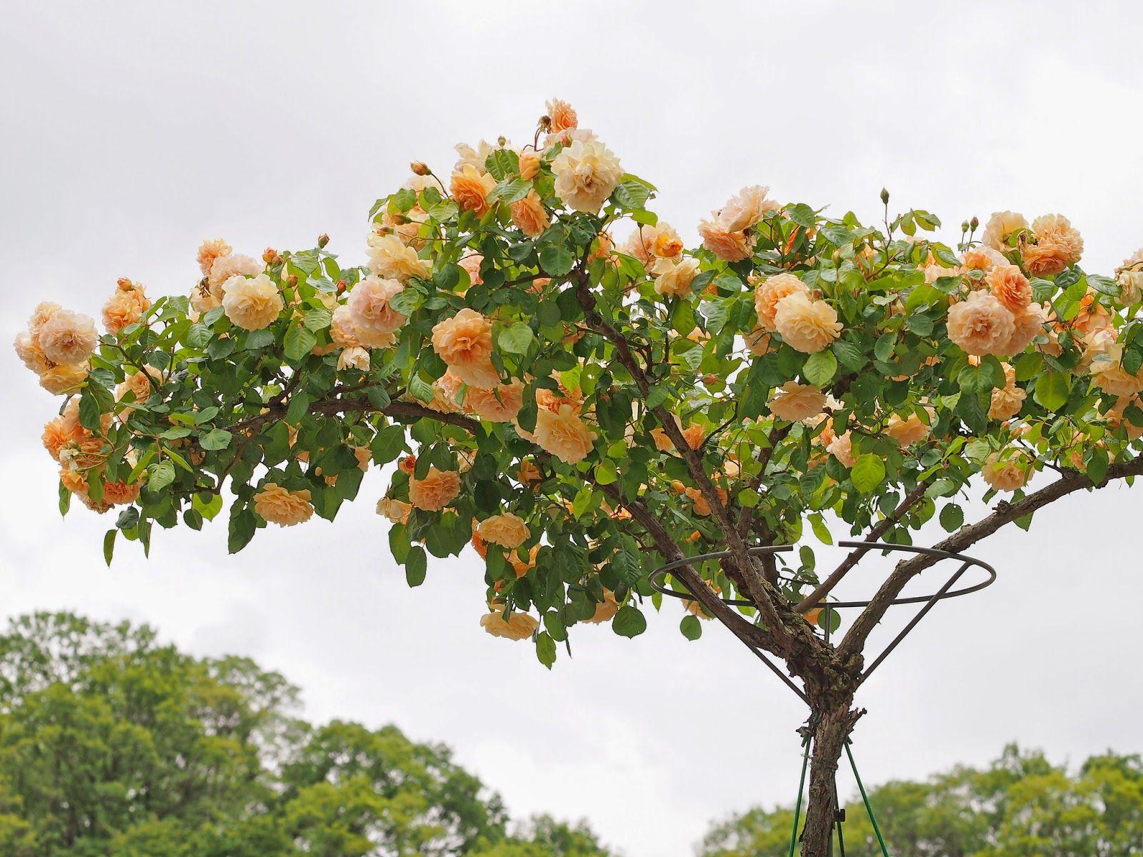 Jardines que me gustan arboles de rosas arboles for Arboles para jardin