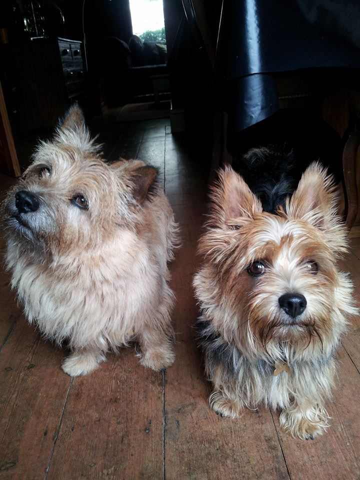 Did you say something? | Norwich terrier, Small terrier ...