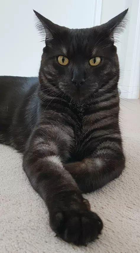 Black Smoke Maine Coon Saninha S Cats Maine Coon E