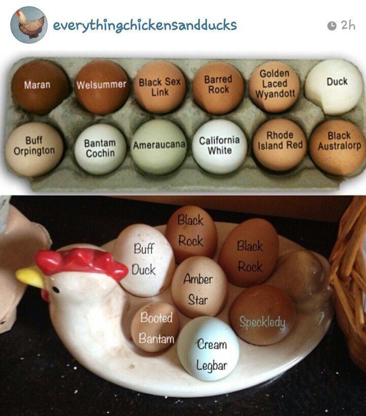 Chicken Breeds And Their Egg Colors
