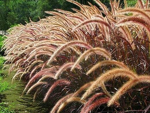 Capim-do-texas: gramínea de folhagem densa e de pouca manutenção.