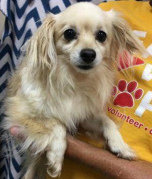 Ivory Adoptable Dog Adult Female Pomeranian Poodle Mix Middle