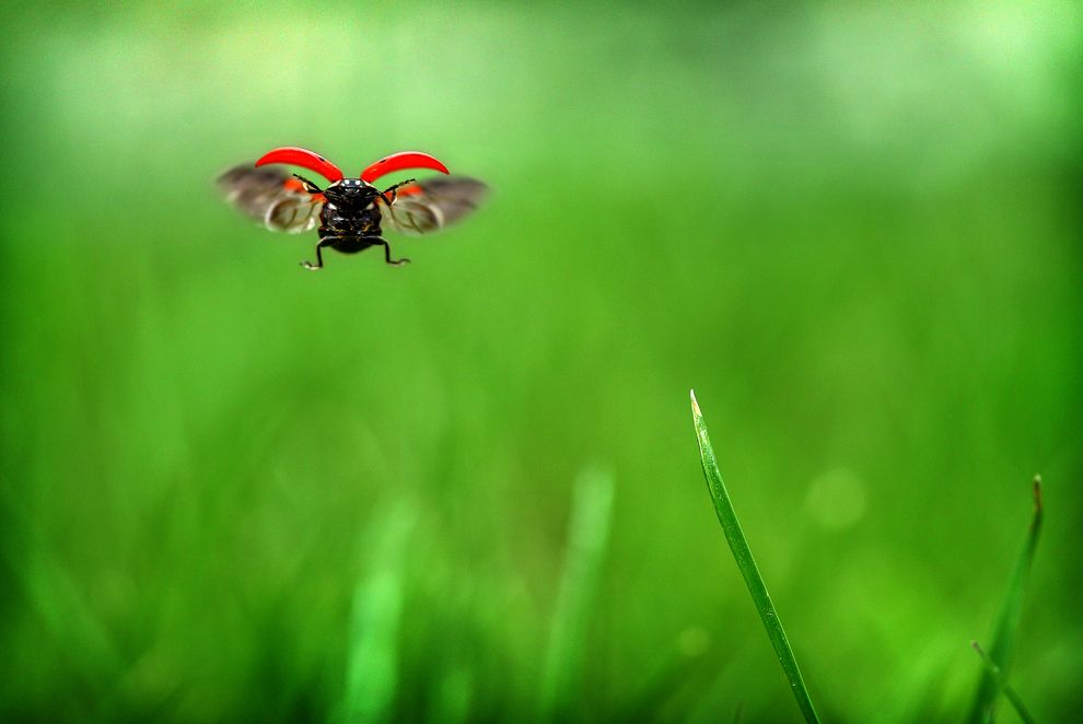 A ladybug in flight spreads its wings as it flutters from grass blade to grass blade at Rooks Park in Walla Walla, Wash. on April 2, 2012. (Jeff Horner/Walla Walla Union-Bulletin/Associated Press)