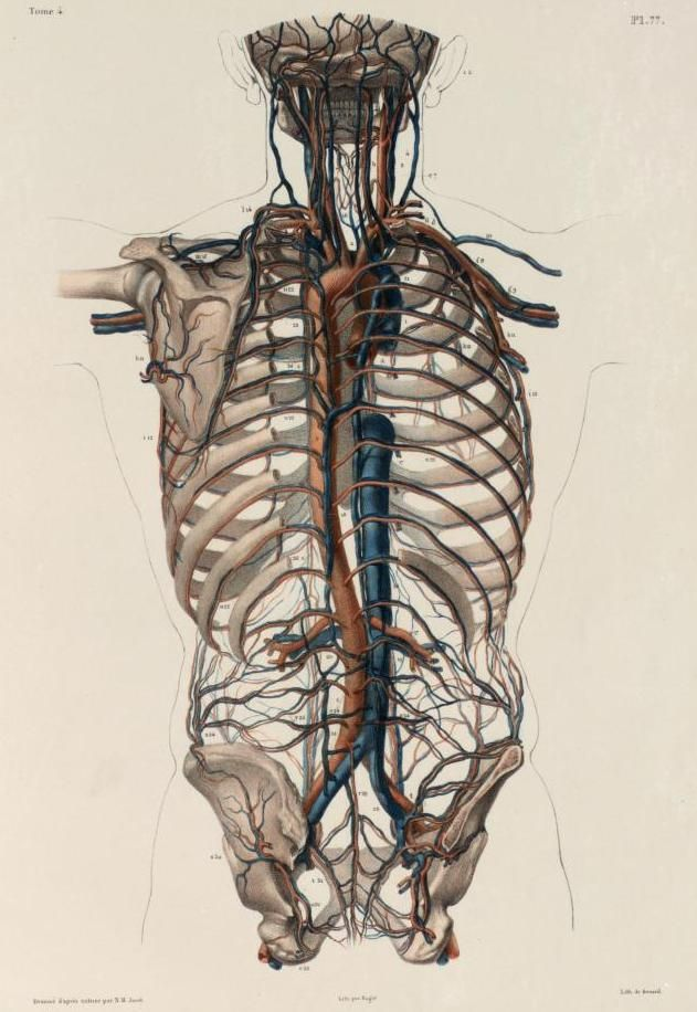 Human thorax and pectoral girdle with isolated arteries and veins ...