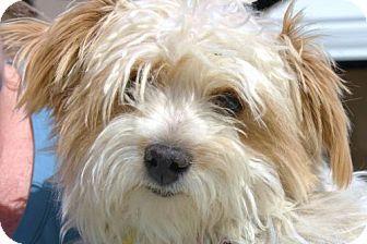 Madera, CA - Shih Tzu/Poodle (Miniature) Mix. Meet Chicklet 01614/8, a dog for adoption. http://www.adoptapet.com/pet/12804258-madera-california-shih-tzu-mix
