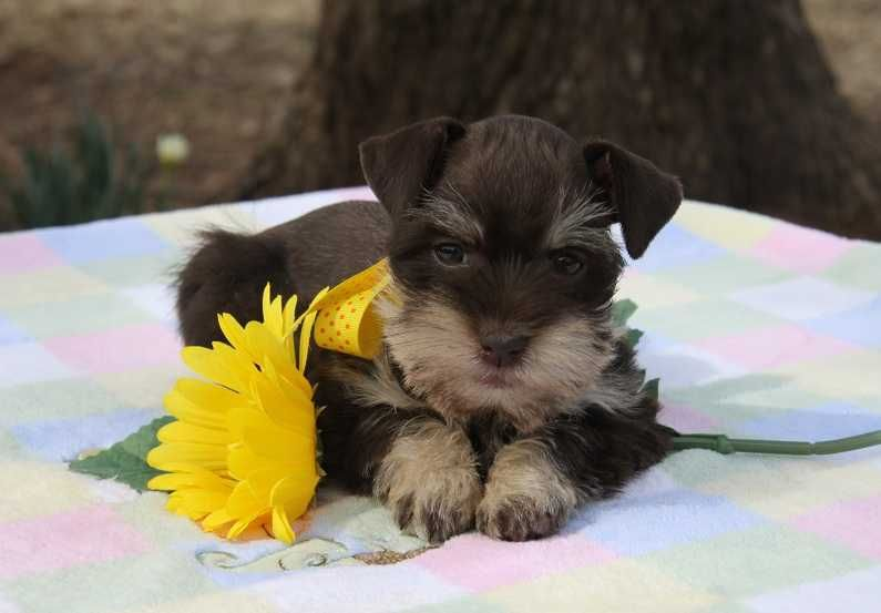 Toy Miniature Schnauzers Toy Teacup And Miniature Schnauzer Puppies For Sale Oklahoma Schnauzer Puppy Miniature Schnauzer Puppies Puppies And Kitties