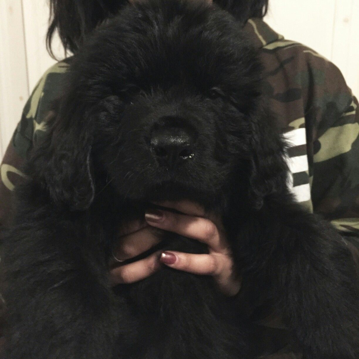 Remi When He Was 2 Months Old Newfoundland Newfoundlanddog Newfoundland Dog Dog Breeds Dogs