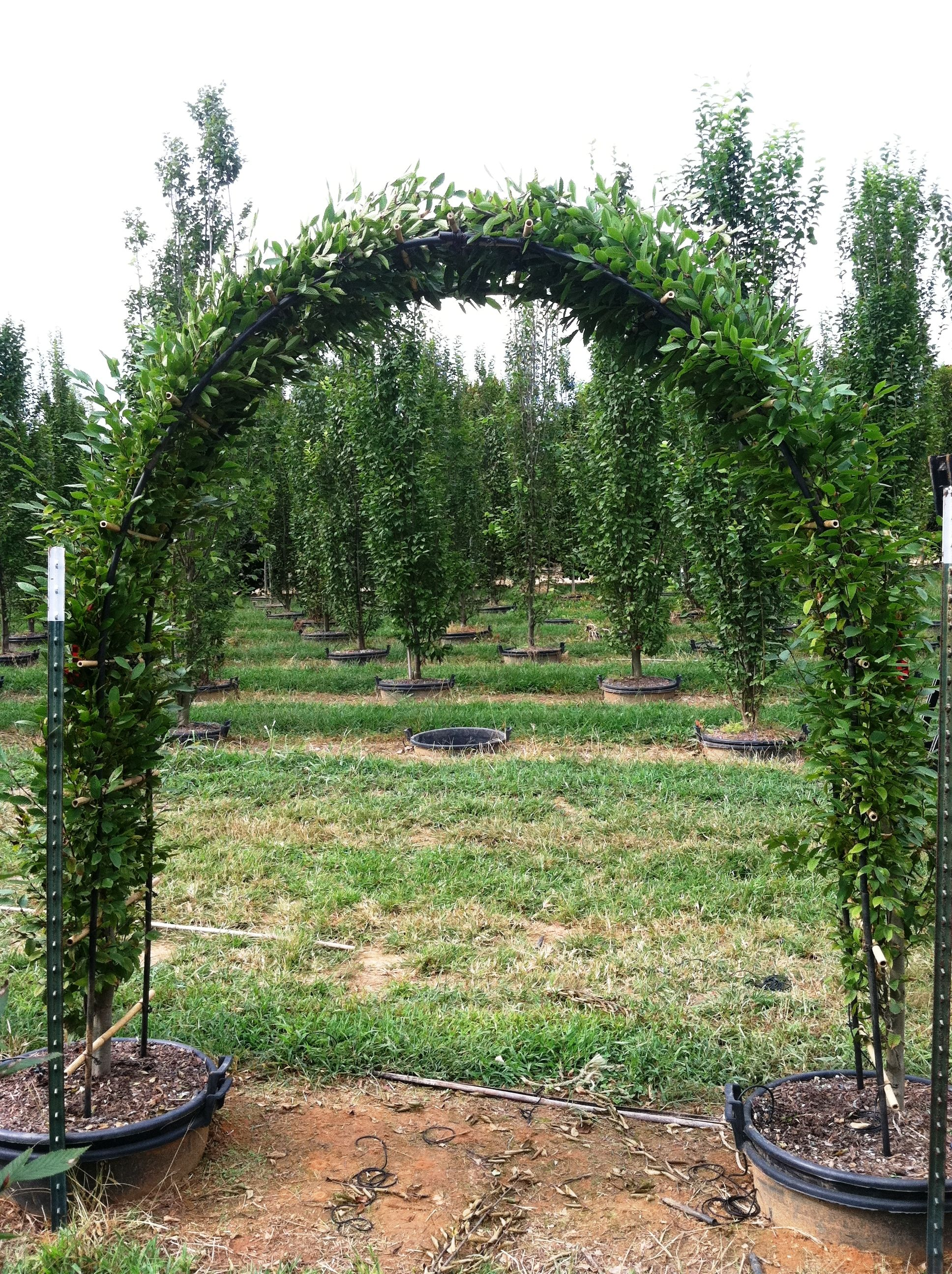 Pyramidal Hornbeam Trained Into An Arch From Hale And Hines Nursery