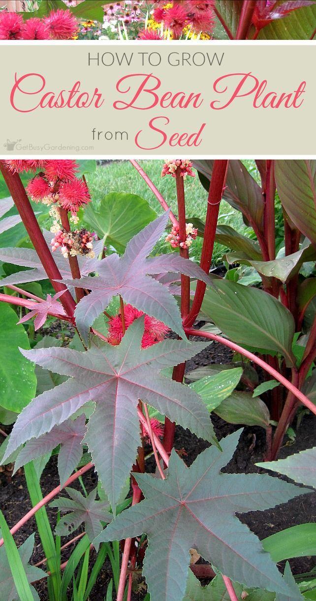 How To Grow Castor Bean Plant From Seed Castor Beans Castor
