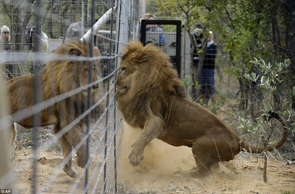 Play time:Because the animals cannot hunt they will be fed game meat and will have water in their enclosures