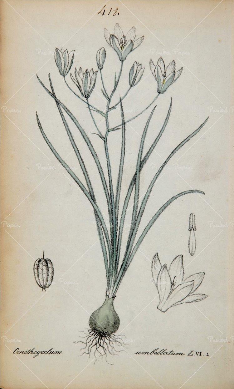 Flower Angrec (Star of Bethlehem); Victorian Meaning