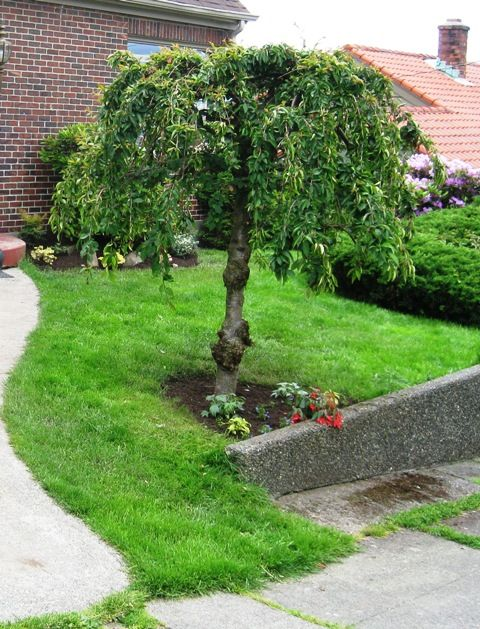 front yard weeping cherry tree