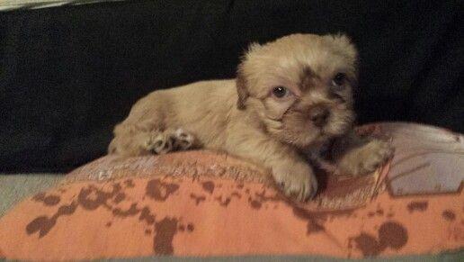 My new little baby puppy,  kali