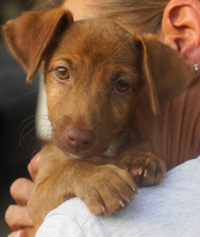 Italian Greyhuahua dog for Adoption in El Cajon, CA. ADN