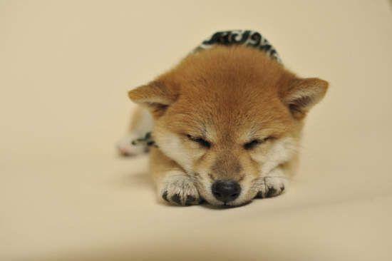 日本節目人氣柴犬 豆助 怎麼每一代都這麼可愛 柴犬 かわいいペット 子犬