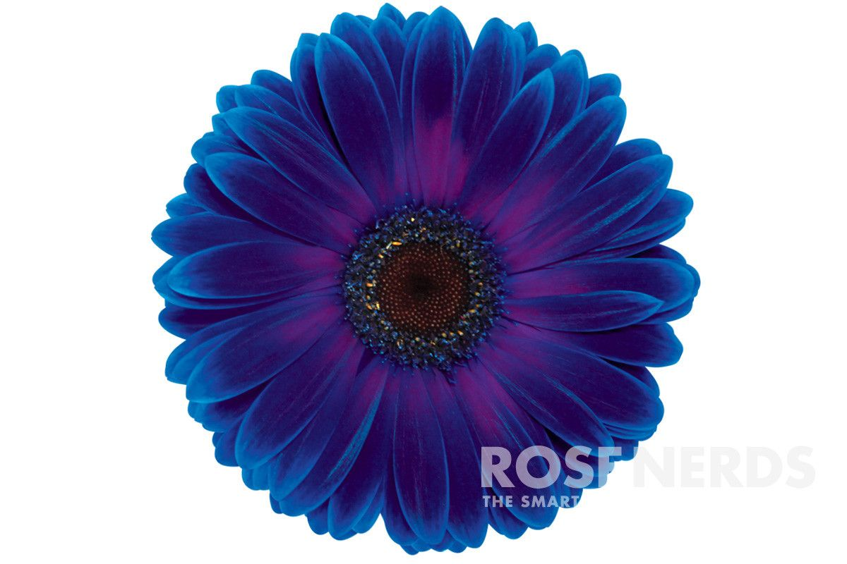 Wholesale dark blue and purple bi color enhanced gerbera daisies are wholesale dark blue and purple bi color enhanced gerbera daisies are gorgeous flowers that will steal the show at any special event or wedding izmirmasajfo