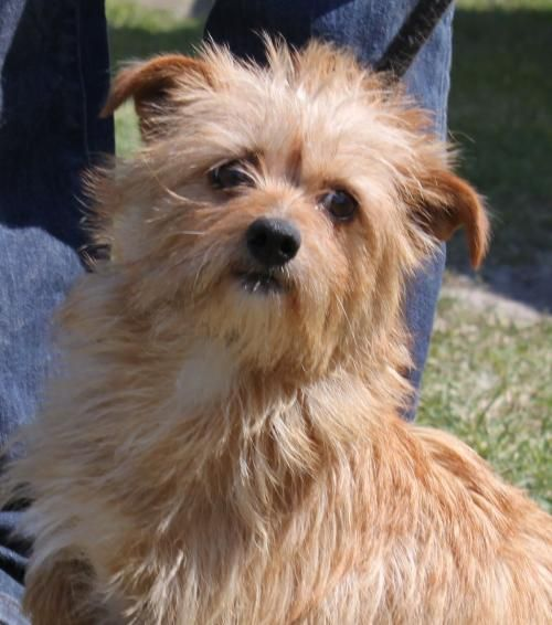 Dogs For Layla By Debbie Hayes Cairn Terrier Mix Pets Dog Adoption