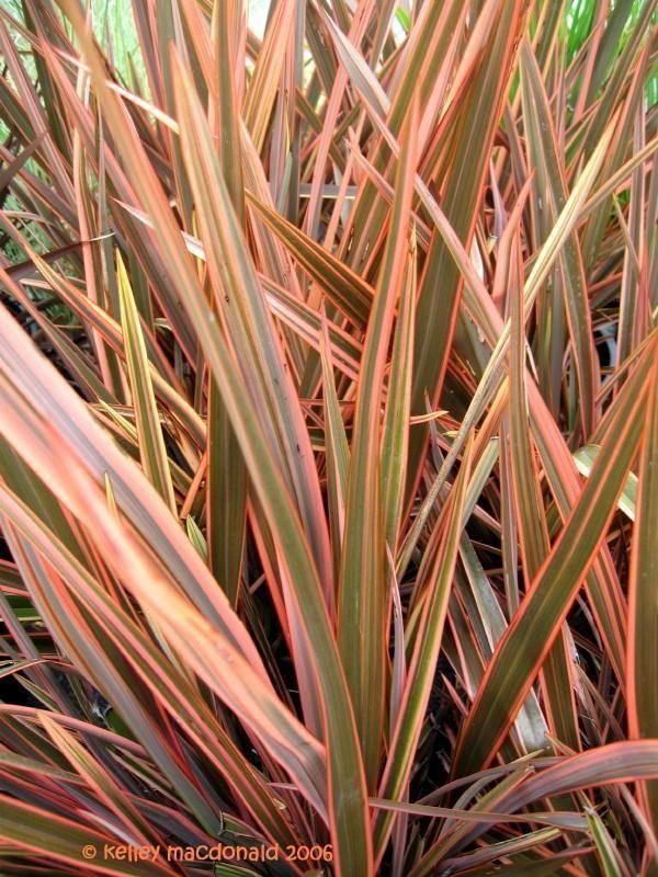 20 New Zealand Flax New Zealand Flax Deer Resistant Garden Flax Plant