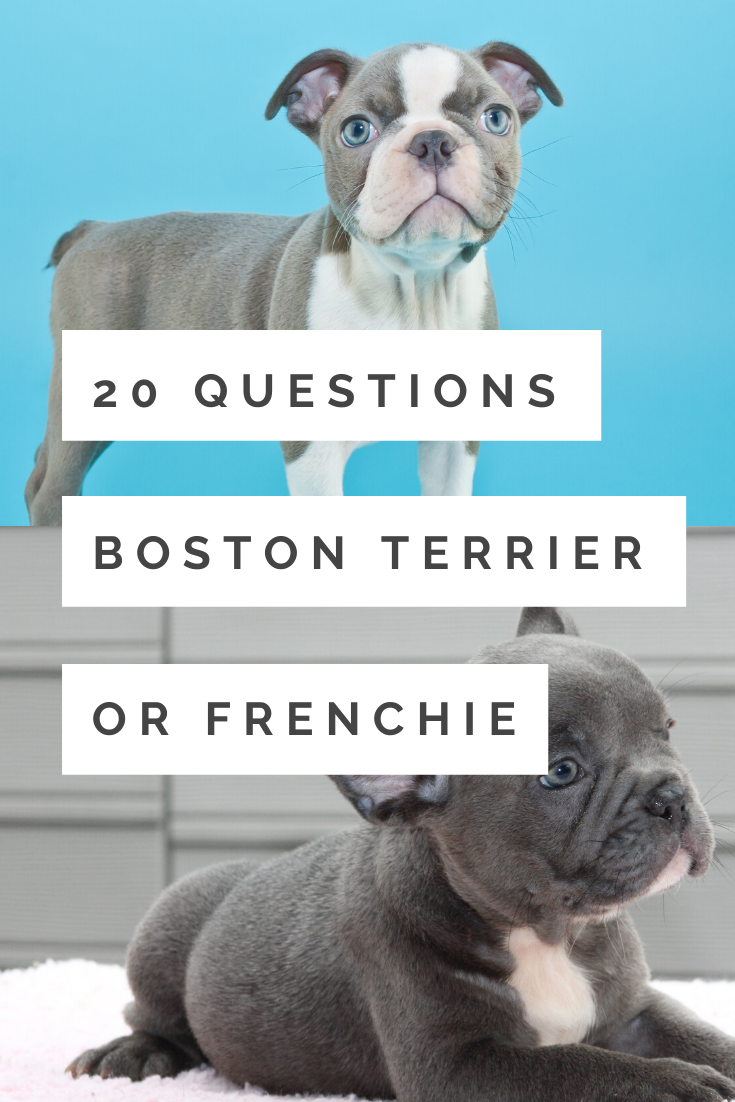 Quiz Is This A Boston Terrier Or Frenchie Photos Videos Boston Terrier Society In 2020 Boston Terrier Terrier French Bulldog