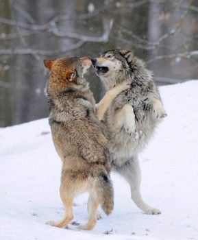 Two wolves fighting about hierarchy, Mackenzie Wolf, Alaskan Tundra Wolf or Canadian Timber Wolf Canis lupus occidentalis in the snow, aggressive  - stock photo