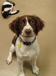 Izzy Is An Adoptable English Springer Spaniel Dog In Milwaukee Wi English Springer Spaniel Spaniel Dog Springer Spaniel