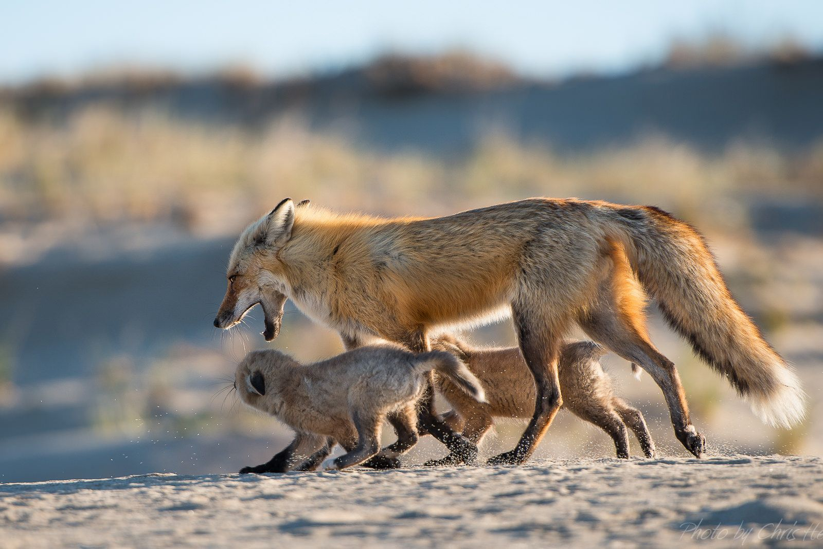 https://flic.kr/p/s2DWzh | red fox dad with kits