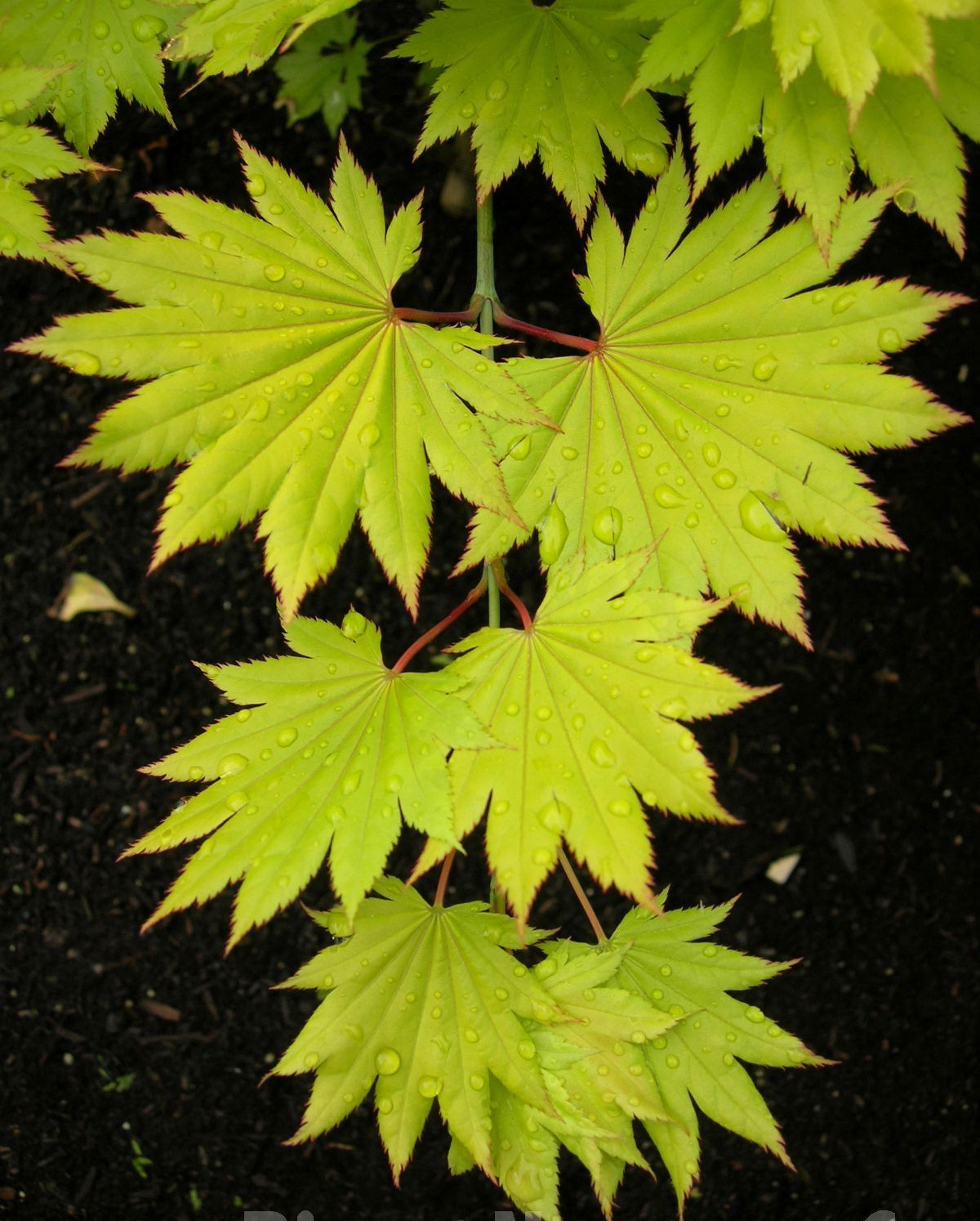Acer shirasawanum \'Aureum\' Japanese maple - The Site Gardener ...