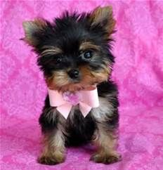 Teacup Yorkie Poo Puppies White Yorkiepoo Info Temperament