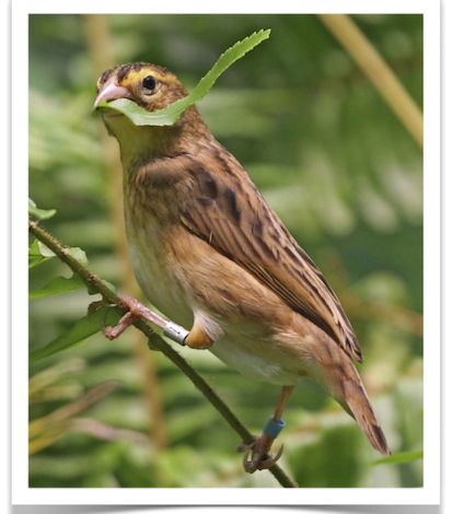 Orange Crown Weaver (Red Bishop) | Finches | Birds for sale