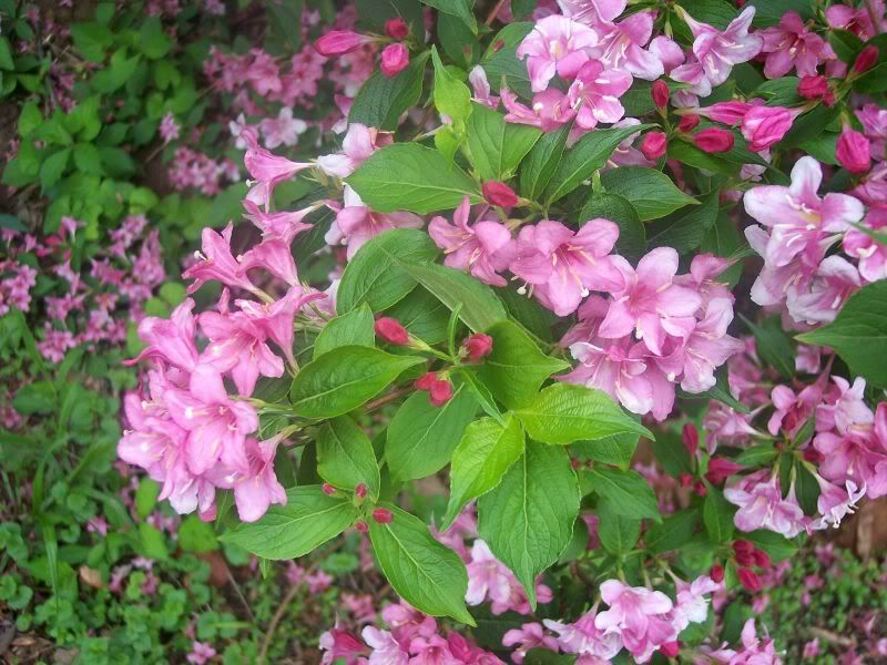 Flowering tree identification please id pink flowering bush name flowering tree identification please id pink flowering bush name that plant forum gardenweb mightylinksfo