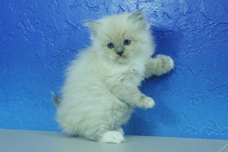 Nora Blue Mitted Mink Female Ragdoll Kitten Ragdoll Kitten