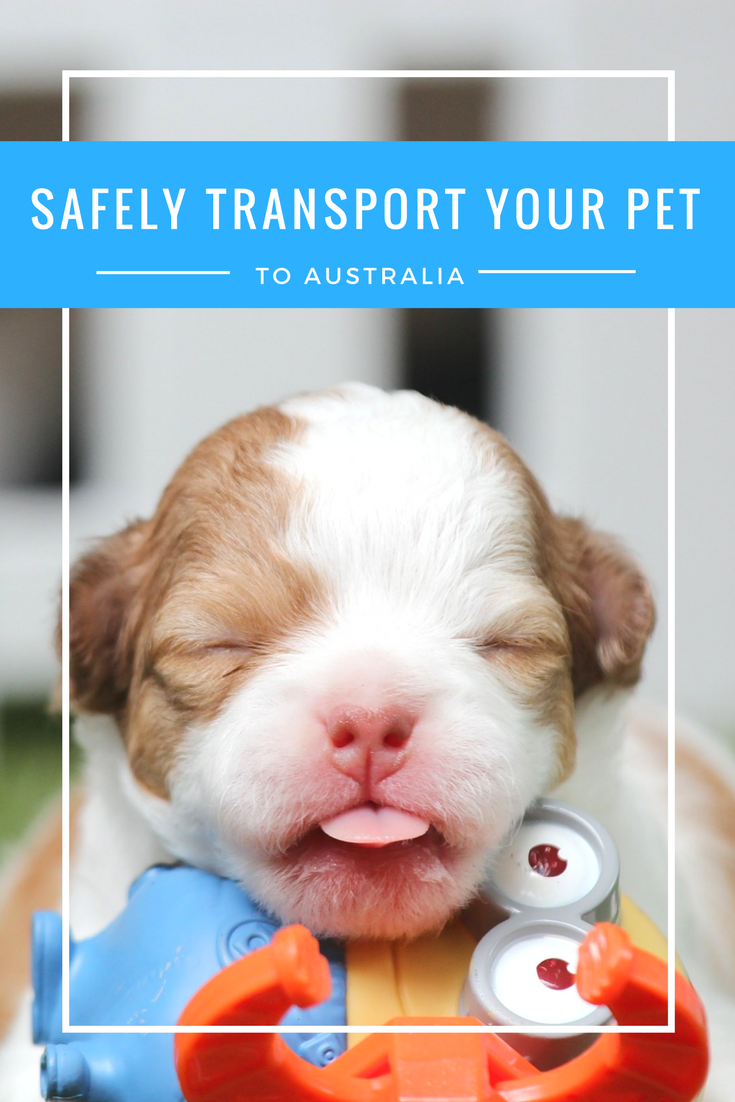 Safely transport your pet to Australia MoveList puts you