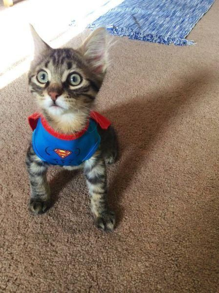 SuperCat | http://unusual-cats.com/supercat/