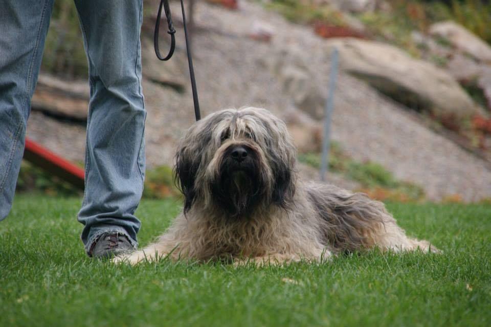 Pin Auf Portugiesischer Wasserhund