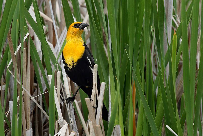 Yellow-headed Blackbird (Americas)