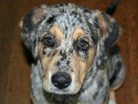 Another Cute Puppy Australian Shepard And Lab Mix Aka Sheprador