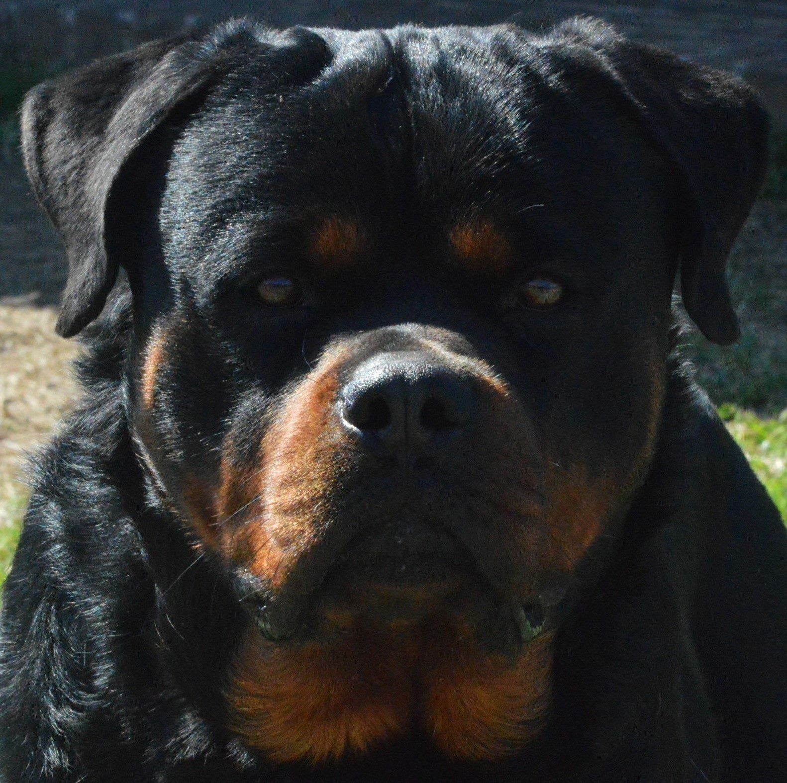 We Would Like To Welcome You To Haus Des Groben Pfoten Rottweilers