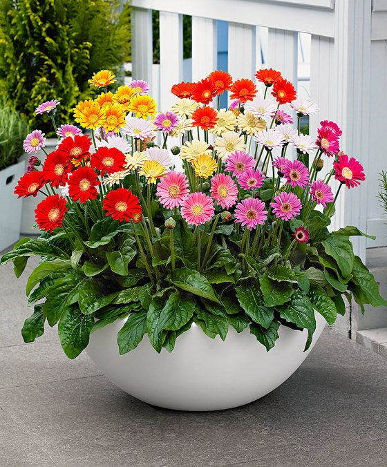 Gerbera Container Flowers Container Gardening Flowers Container Garden Design