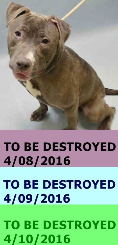 KILLED 4/10/2016 --- RETURNED 04/01/16 PERS PROB ---SAFE 1-20-2016 --- Brooklyn Center PHOENIX – A1062896  MALE, BLUE / WHITE, AM PIT BULL TER MIX, 2 yrs STRAY – STRAY WAIT, HOLD FOR COURTESY Reason STRAY Intake condition EXAM REQ Intake Date 01/14/2016 http://nycdogs.urgentpodr.org/phoenix-a1062896/